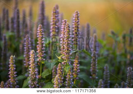 Image of giant Anise hyssop (Agastache foeniculum) in a summer garden. ** Note: Shallow depth of field