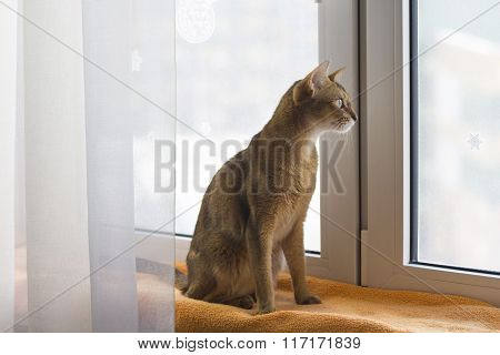 Abissinian cat looking at window