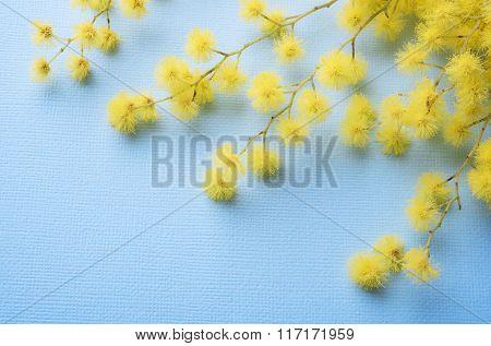 Fresh mimosa flower on blue