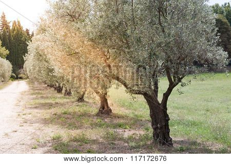 Olives Alley In Provence, France