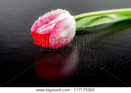 One tulip with drops of dew on a black background