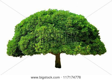tree with fluffy green foliage