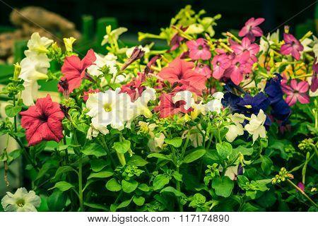Bright Petunia Flowers Seedlings Selling Outdoors