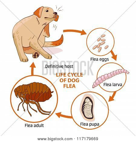 Life Cycle Of Dog Flea. Vector Illustration. Infection. The Spread Of Infection. Diseases, Fleas Animals. Fleas Life Cycle. Stages Of Development. Veterinary Medicine. Sick Dog. Dog Flea Allergy.