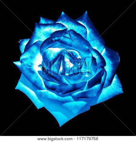 Surreal Dark Chrome Blue Tender Rose Flower Macro Isolated On Black