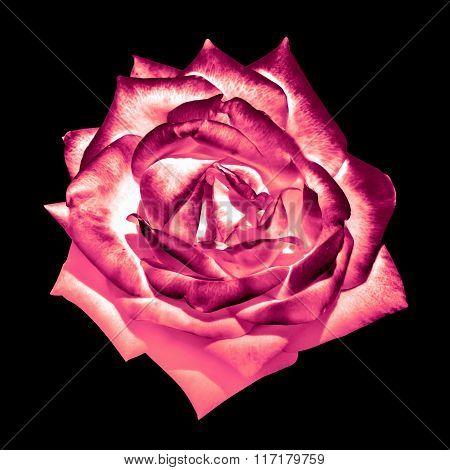 Surreal Dark Chrome Cream Pink Tender Rose Flower Macro Isolated On Black