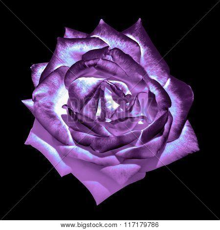 Surreal Dark Chrome Violet Tender Rose Flower Macro Isolated On Black