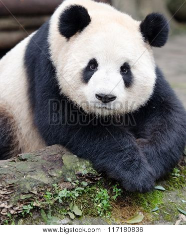 Giant Panda Posing with Cute Look