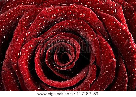 Red rose background, dew drops on the gentle fresh flower petals, romantic greeting card for Valentine day
