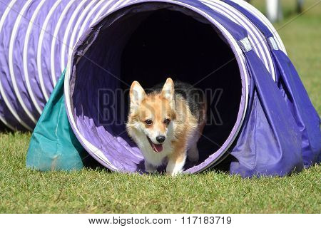 Pembroke Welch Corgi At A Dog Agility Trial