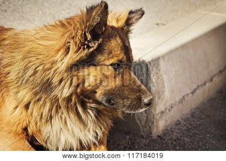 Lonely Homeless Dog Outdoors