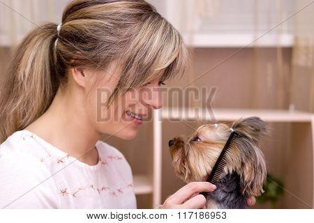 Combing Beard Of Yorkshire Terrier.