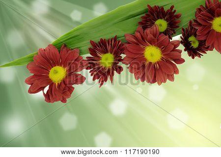 Beautiful Pink Chrysanthemum flowe