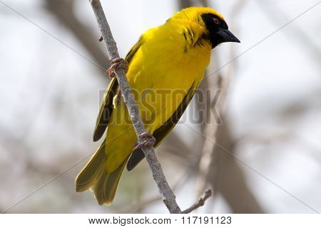 Yellow Weaver Bird In A Tree