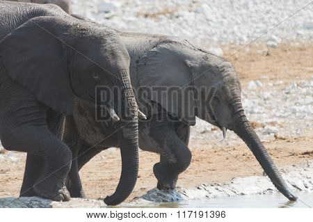Elephant Cow And Calf Drinking At Waterhole