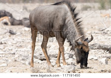 Blue Wildebeest Looking For Food