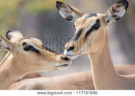 Portrait Of Two Blackfaced Impala
