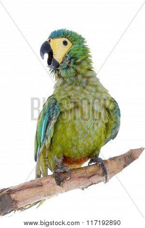 Red-bellied macaw, orthopsittaca manilata, on white