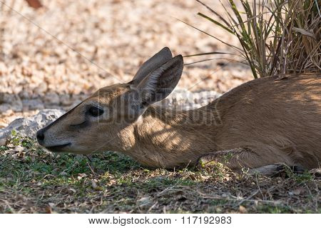 Portrait Of A Lying Common Duiker