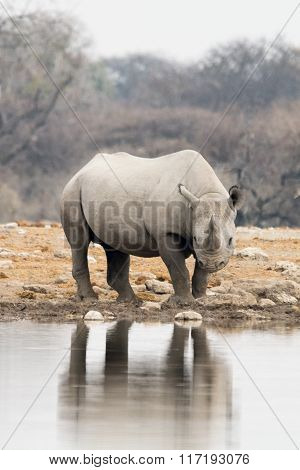 Rhinoceros At Natural Waterhole