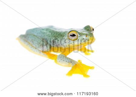 Malabar flying tree frogling isolated on white