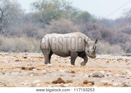 Rhinoceros Walking Near Natural Waterhole
