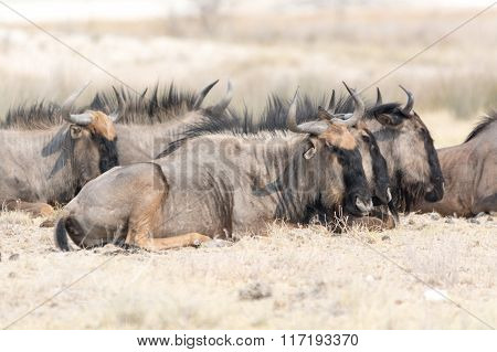 Group Of Blue Wildebeests Lying Lazy