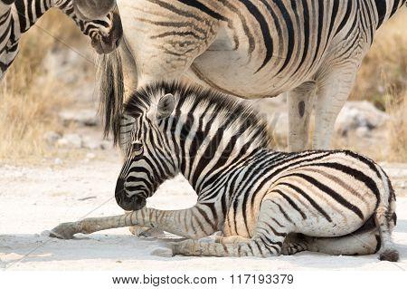 Zebra Kitten Lying On Ground