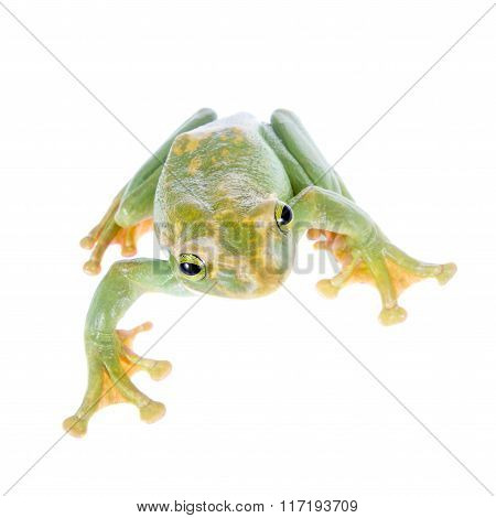 Giant Feae flying tree frog isolated on white