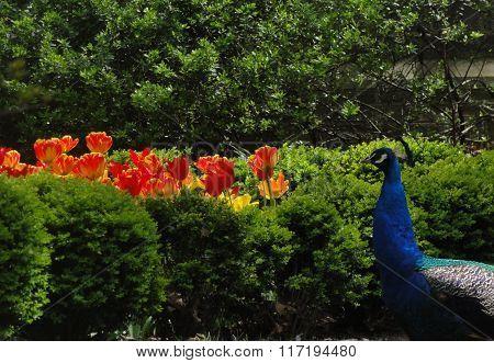 City peacock