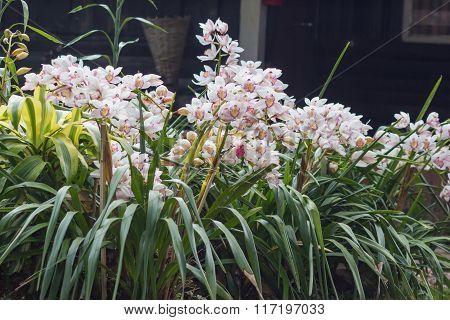 Beautiful flowers of cymbidium orchid in garden