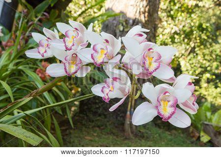 Flowers Of Cymbidium Orchid In Garden
