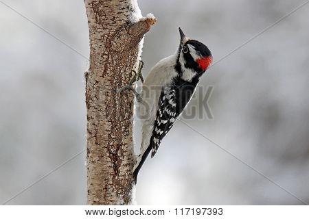 Valentine's Woodpecker