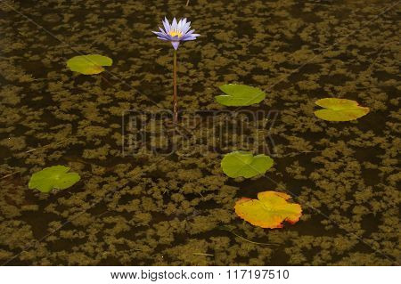 Water Lily Growing In Pond Helping Insect Re-population And Native Plant Re-introduction.