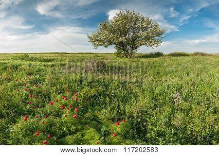 Blooming Wild Peonies In Steppe