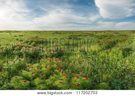 Blooming Wild Peonies In Steppe