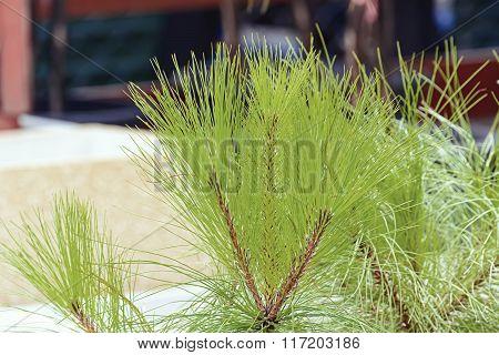 Pinus Leaf