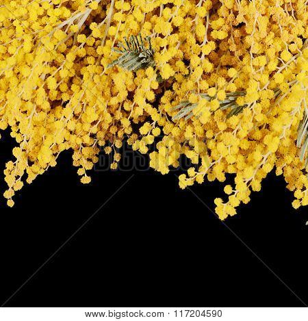 Yellow Mimosa  On Black Background