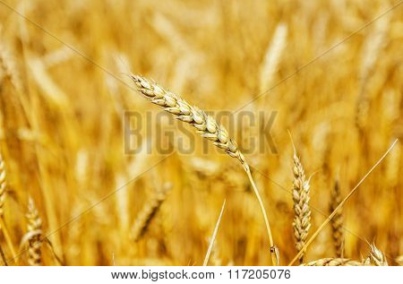 wheat ear close up on field. soft focus