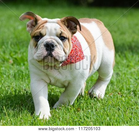 english bulldog outside in the grass in summer