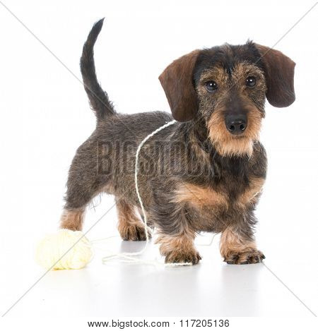 naughty miniature dachshund playing with ball of yarn on white background