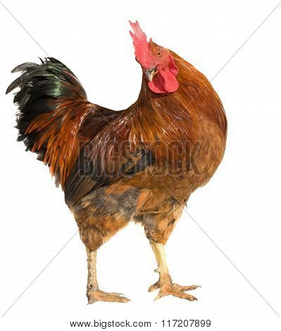 Red rooster isolated on white