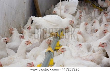 Young white chickens at the poultry farm