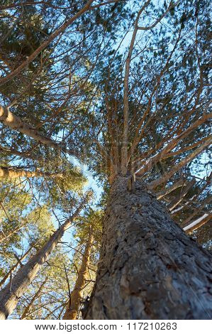 Patterns Of Pine Branches