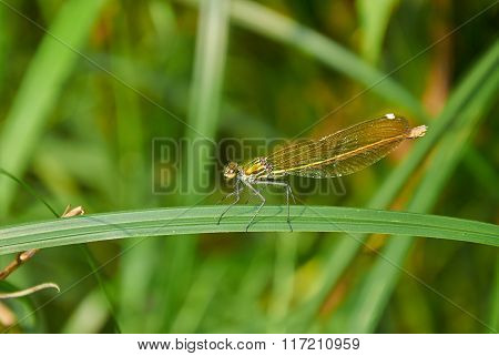 Golden Dragonfly On The Leaf