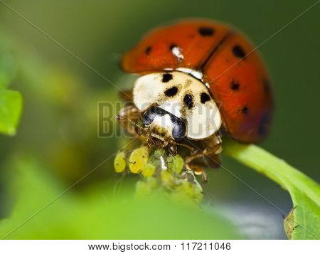 Ladybug Feeds On Aphids