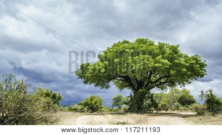 Kruger National Park Landscape, South Africa
