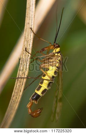 Scorpion fly Panorpa communis