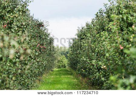 Green Apple Orchard