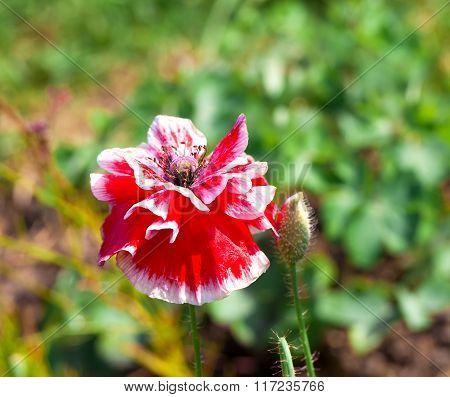 Papaver Rhoeas Common Names Include Corn Poppy , Corn Rose , Field Poppy , Flanders Poppy , Red Popp